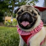 pug life span