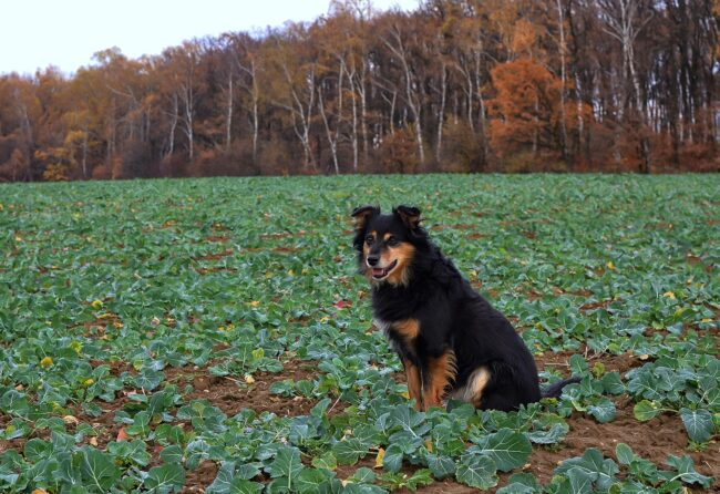 can dogs eat kohlrabi