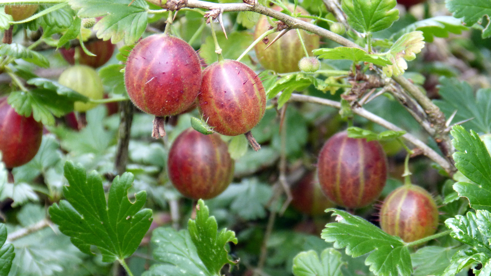 Can Dogs Eat Gooseberries