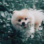 Pomeranian Growling