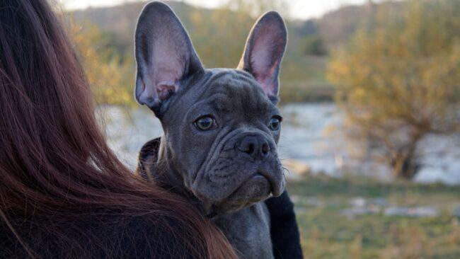 Lilac French Bulldog Grooming