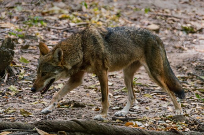 what is a coydog
