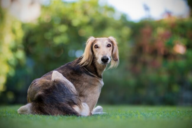 Greyhound Roaching