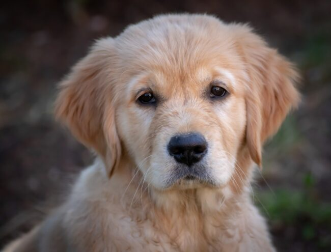 Golden Retriever Summer Cut