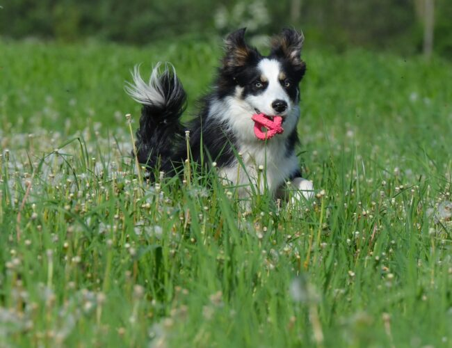 Are Dandelions Bad for Dogs