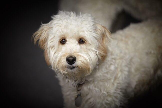 australian cobberdog price
