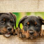 Female Rottweilers