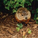 do groundhogs hibernate