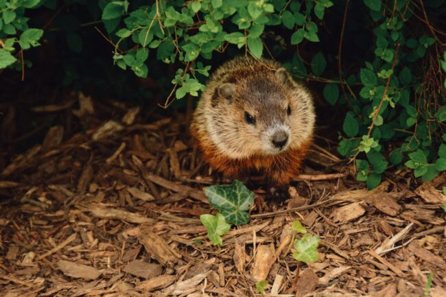 do groundhogs hibernate