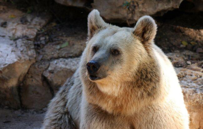 What Does A Bear Taste Like