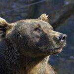 Why Do Bears Like Honey