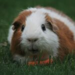 Can Guinea Pigs be Potty Trained