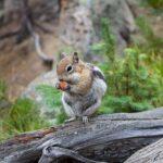 Do Chipmunks Eat Mice