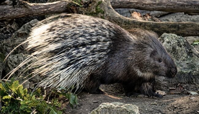 Can You Eat Porcupine