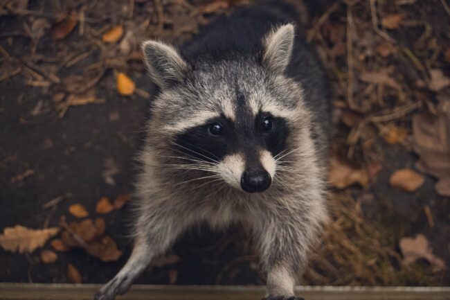 Do Raccoons Eat Rabbits