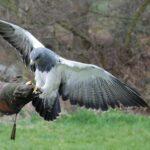 What Eats Hawks