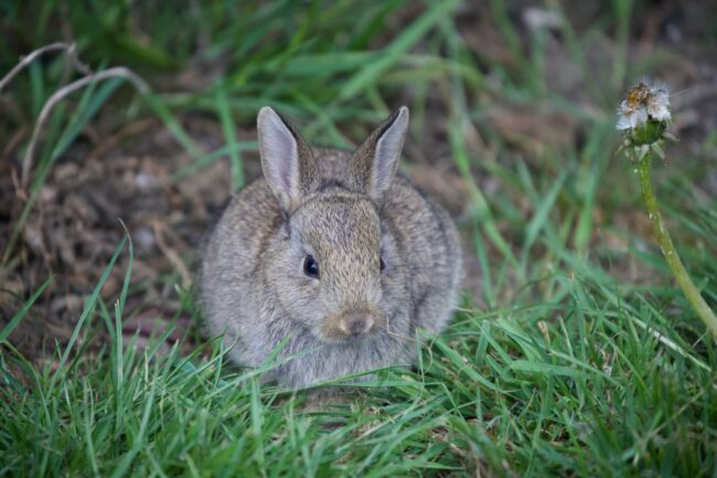 wild rabbit sitting