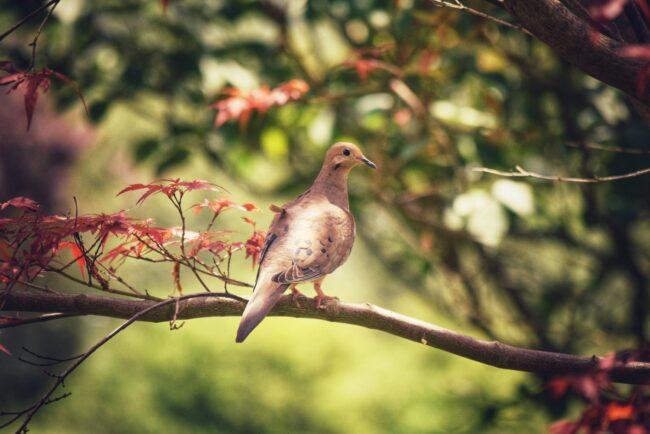 What are Eurasian doves