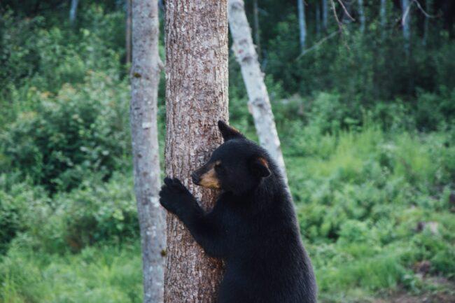 Do Florida Black Bears Hibernate