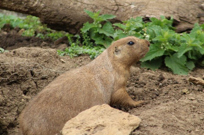 What Eats Groundhogs
