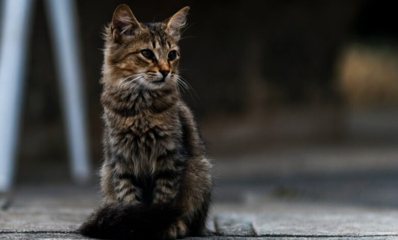 Sebaceous Adenoma In Cats