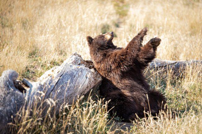Why Do Bears Wave