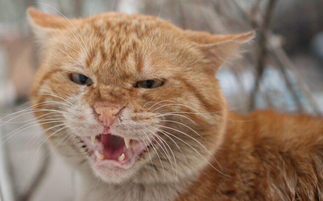 Cat Malocclusion