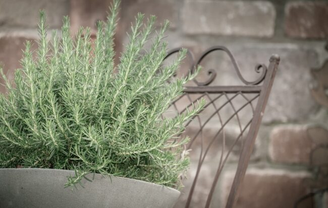 Is Rosemary Oil Safe For Cats