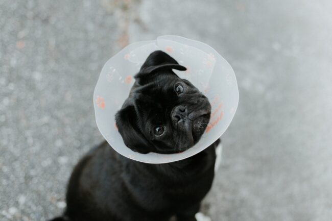 Can Neutered Dogs Ejaculate